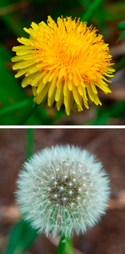 Edible plants for #survival - dandelion - The entire plant is edible- roots, leaves, and flower. Eat the leaves while they're still young; mature leaves taste bitter. If you do decide to eat the mature leaves, boil them first to remove their bitter taste. Boil the roots before eating as well.  You can drink the water you boiled the roots in as a tea and use the flower as a garnish for your dandelion salad.