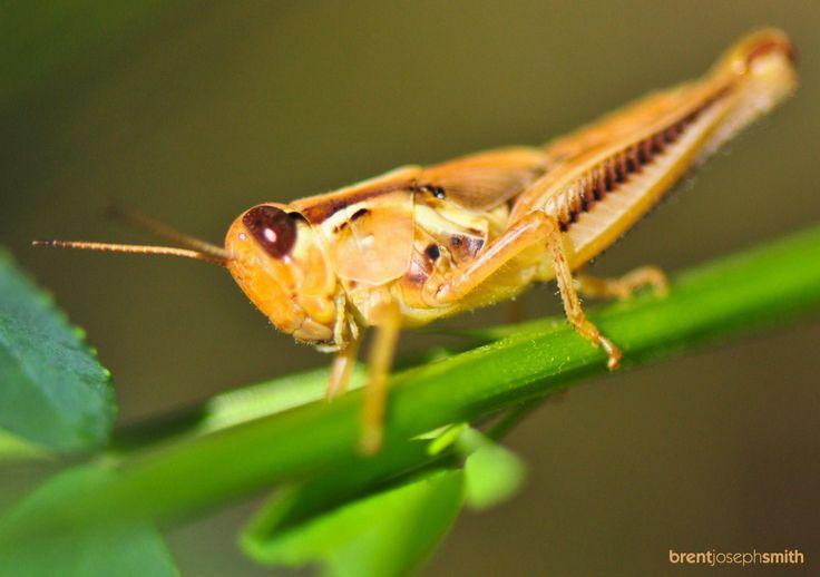 Short-Horned Grasshopper (Melanoplinae) - Austin, TX (http://en.wikipedia.org/wiki/Melanoplinae) -- Photographer: Brent Joseph Smith © 2014 #grasshopper #naturephotography