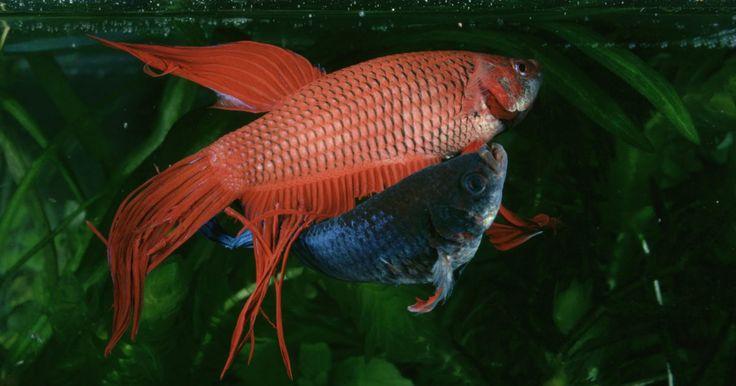 Cómo saber si mi pez Betta está enfermo. El pez Betta también puede ser llamado pez luchador. Estos peces miden alrededor de dos pulgadas de largo y tienen grandes y fluidas aletas. Vienen en muchos colores hermosos, lo que los convierte en una mascota deseable. Por desgracia, los peces betta pueden enfermarse fácilmente. Cuidarlos adecuadamente es una necesidad. Es importante que los ...