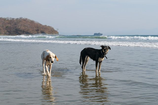 Chiens à Playa El Coco (région de San Juan del Sur, Nicaragua)