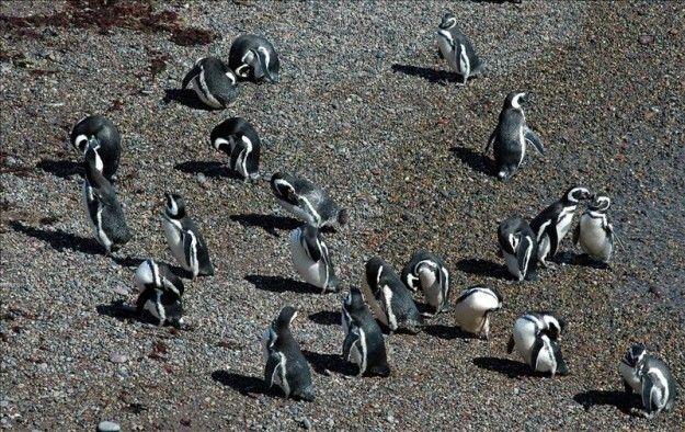 La mayor colonia de pingüinos de Magallanes, amenazada por el cambio climático