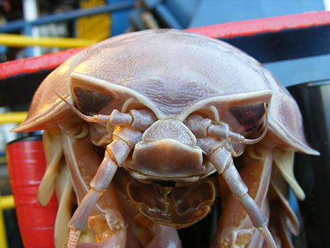 Cthulhu's Pet? Giant Isopod (2.5 Feet!) Found Attached To Underwater Robot : TreeHugger. good scifi creature inspiration.
