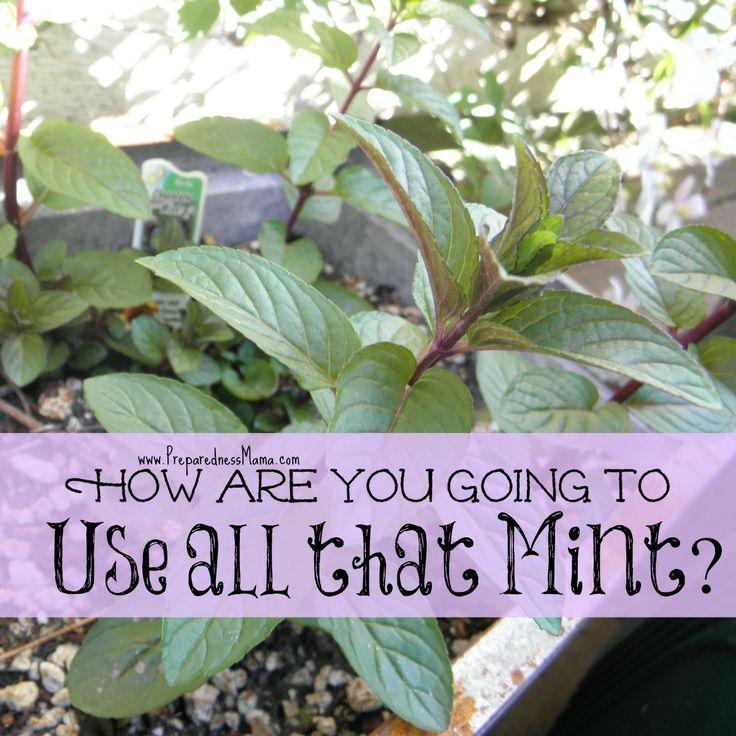 how to grow peppermint tea