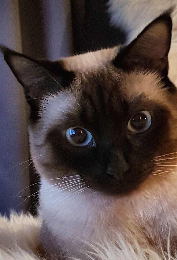 Прикольные сиамские коты картинки, лучших