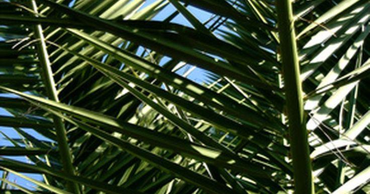 Enfermedades de la palmera pindó. La palmera pindó es un árbol robusto con un tronco grueso, áspero y largo, y hojas plumosas. La pindó es más resistente al frío que algunas otras palmeras. Es reconocible por sus palmas de color azul grisáceo que se curvan hacia abajo hacia el tronco texturado.Éste árbol se conoce por su resistencia a enfermedades y plagas, pero, como casi ...