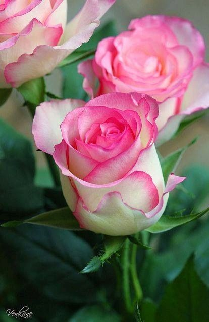 Pink Roses via Lovely Roses Facebook page
