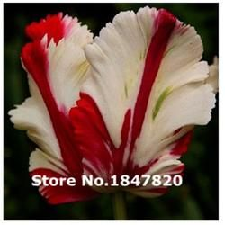 Rare Tulip Seeds, 10 kinds 500 Mix Colors Flower Seeds, High survival Rate for Home and Garden.