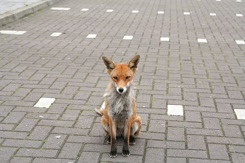 Fox: Urban Foxes, Foxy Friends, The Cities, Bit Foxy, Odd Food, Foxes Board3, Foxes Rox, King Foxes, Burgers King