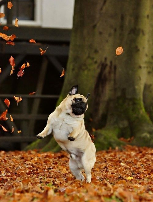 thecutestofthecute:  In honor of Autumn coming soon, here are some happy dogs that love the fall weather are aren't afraid to show it. Have a great day everyone.