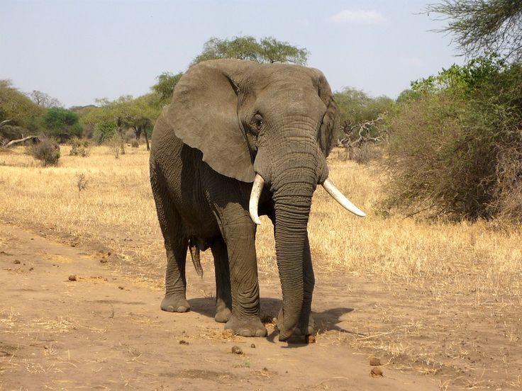 Elefant, Afrikanischer Elefant, Savanne, Afrika