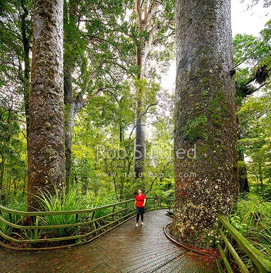 Giant Kauri trees (Agathis australis) with visitor on boardwalk. Manginangina Scenic Reserve, Puketi forest. Square format, Kerikeri, Far North District, Northland Region, New Zealand (NZ).