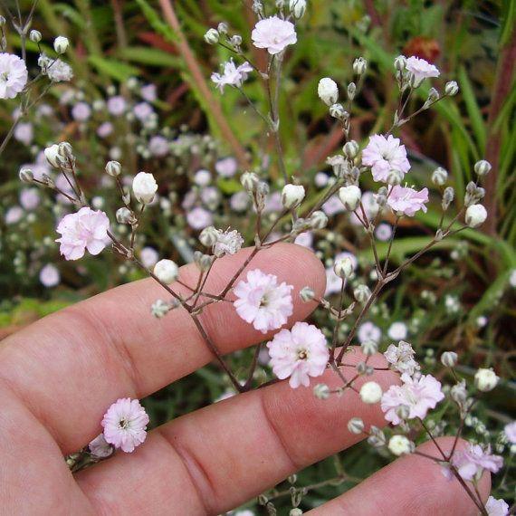 Heirloom 600 Seeds Gypsophila Rosea Pink Babys breath Bulk Flower Seeds B2070, $1.79