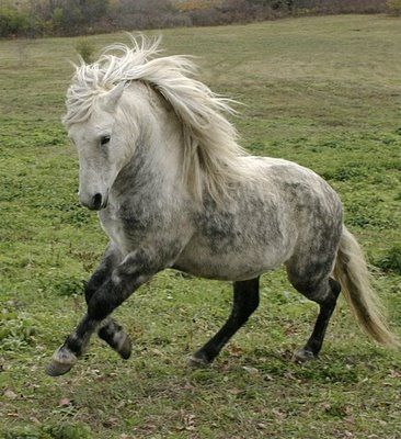 The Newfoundland Pony is listed as a critically endangered species by Rare Breeds Canada. It is believed that there are fewer than 400 Newfoundland Ponies in North America with only 250 of these ponies able to be bred.