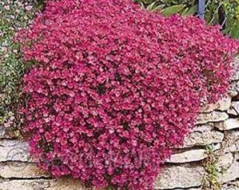 50 Semi di luminoso blu Rock Cress AUBRIETA fiori /