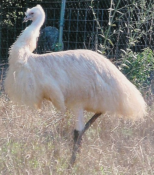 white emu - I saw one once about 14 yrs ago and have wanted one ever since.