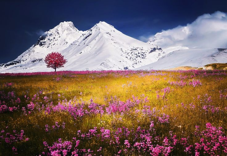 A field of flowers set against a snow-covered mountain.