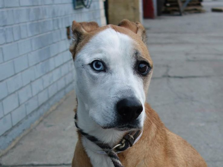 TO BE DESTROYED FRI 1/3/14 Brooklyn Center   DUB (INSKY) - A0988096  NEUTERED MALE, BROWN / WHITE, RAT TERRIER / PIT BULL, 9 yrs OWNER SUR - ONHOLDHERE, HOLD FOR ID Reason NO TIME