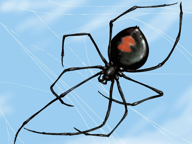 21. Black widow spider-- The female black widow has large venom glands that deliver super-concentrated venom that interferes with the nerve signals that control muscles. The result is potentially fatal and causes severe pain and elevated blood pressure.