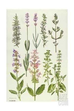 Rosemary and Other Herbs Giclee Print by Elizabeth Rice at Art.com