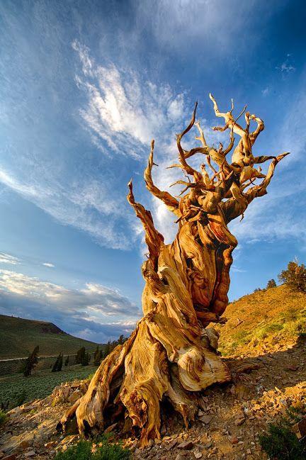 Bristlecone pine tree ring dating