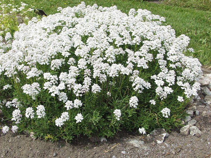 Iberis sempervirens, vinteriberis. Vintergröna blad, vita blommor i stora flockar i maj-juni. 20 cm. Bild: Taimistoviljelijät