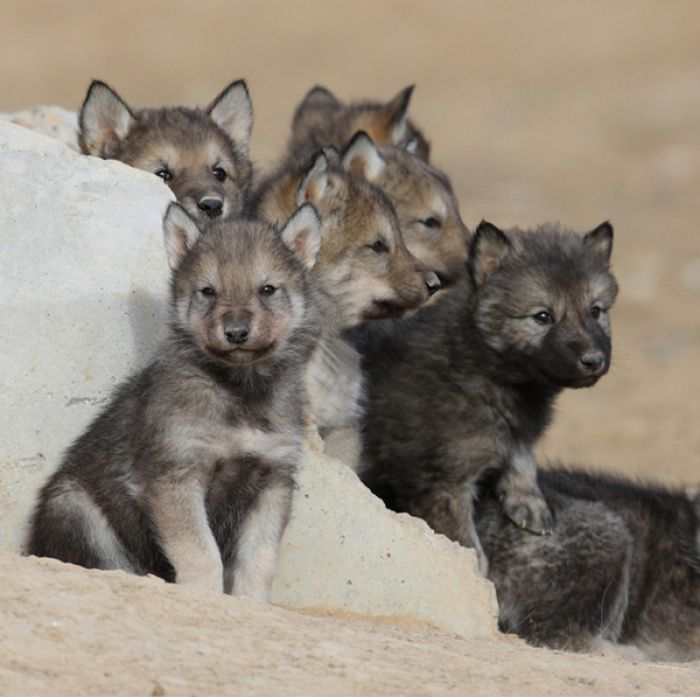 Wolf Puppies...Cant wait to see the new mile into the wild walkway at the WILD ANIMAL SANCTUARY in KEENSBURG COLORADO!