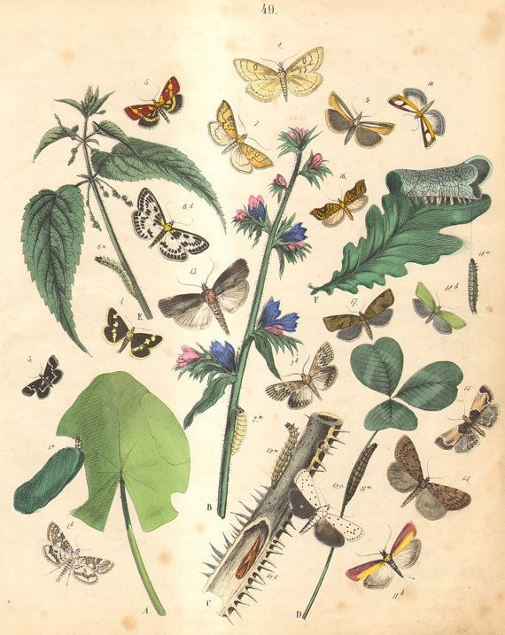 1863 Antique Engraving of Moths, Brown China Mark, Honeycomb Moth, Grease Moth, Meal Moth, Mountain-ash Tortricid,  European Oak Leafroller