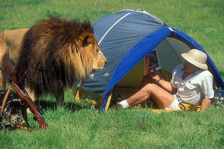 Lion At The Tent Google Search Camping With Animal