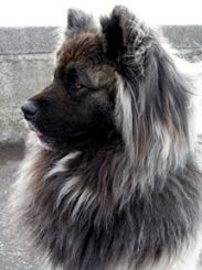 Long Haired Akita! &lt3 SO BEAUTIFUL | Favorite Doggies | Pinterest
