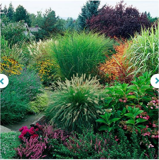 13 best images about ornamental grass on pinterest sun for Best decorative grasses