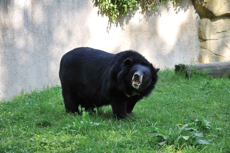 The Asian Black Bear (Ursus thibetanus) can also be found in others countries of Asia.