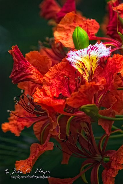 Delonix regia is a species of flowering plant in the family Fabaceae, subfamily Caesalpinioideae. It is noted for its fern-like leaves and flamboyant display of flowers. In many tropical parts of the world it is grown as an ornamental tree and in English it is given the name Royal Poinciana or Flamboyant. It is also one of several trees known as Flame tree.
