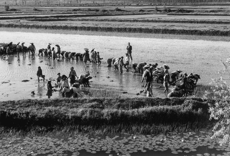 Cultura de arroz, década de 50/60.,Artur Pastor