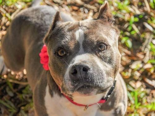 Marian is an adoptable Dog - Staffordshire Bull Terrier searching for a forever family near Spanish Fort, AL. Use Petfinder to find adoptable pets in your area.