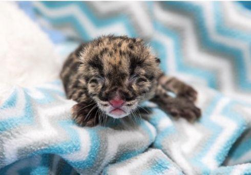 ちっちゃいけどウンピョウだよ アメリカ・ナッシュビル動物園でウンピョウの赤ちゃんが誕生