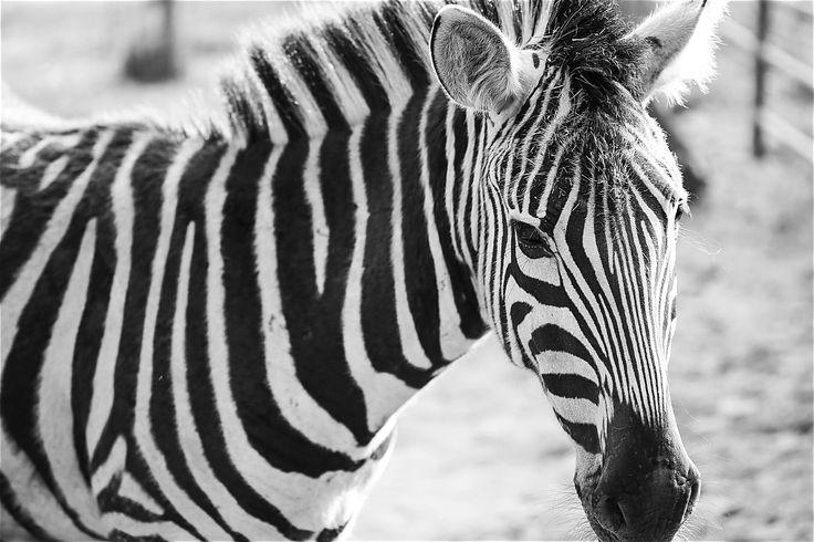 Zebra with Stripes ➤ DOWNLOAD by click on the picture ➤ #Animals #Farm #Stripes #Zebra #BlackAndWhite #Nature #freestockphotos #picjumbo