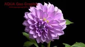 Resultado de imagem para imagens de flores desabrochando