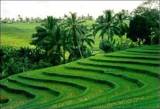 Rice field, Ubud (Bali Island)