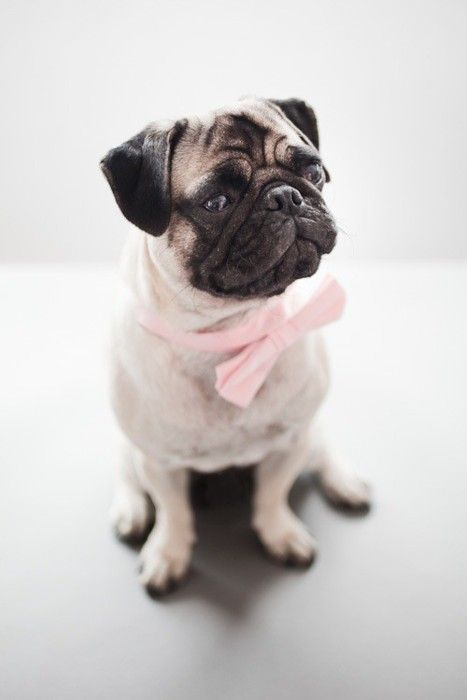oh pug: Dogs, Bows Ties,  Pug-Dog, Pastel Pink, Pink Bows, Bowties, Pugs, Engagement Shoots, Animal