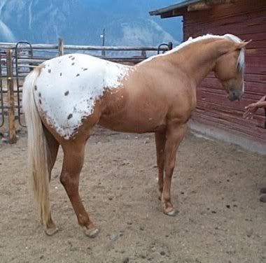 palomino leopard appaloosa. There is little spotting within the blanket on this individual, whereas some other horses can have their whole blanket covered in big polka dots.