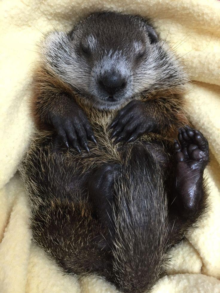 Baby groundhog!!