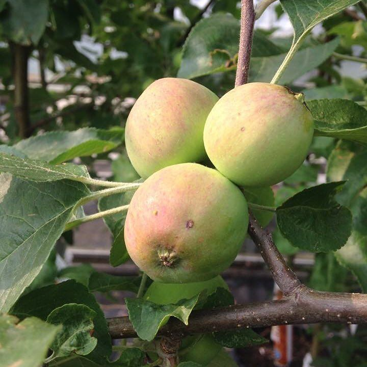 Mmmm cant wait for some of those #apples #Apple #tree #yummy