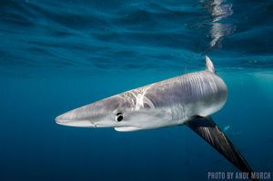 Blue Sharks | Southern California