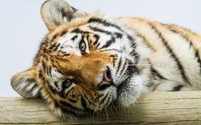 tiger, Amur tiger, view, portrait, cat