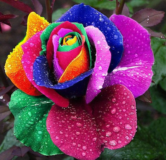 Rainbow Rare Rose Seeds Exotic Rose Flower Seeds by Greenworld1, $8.99