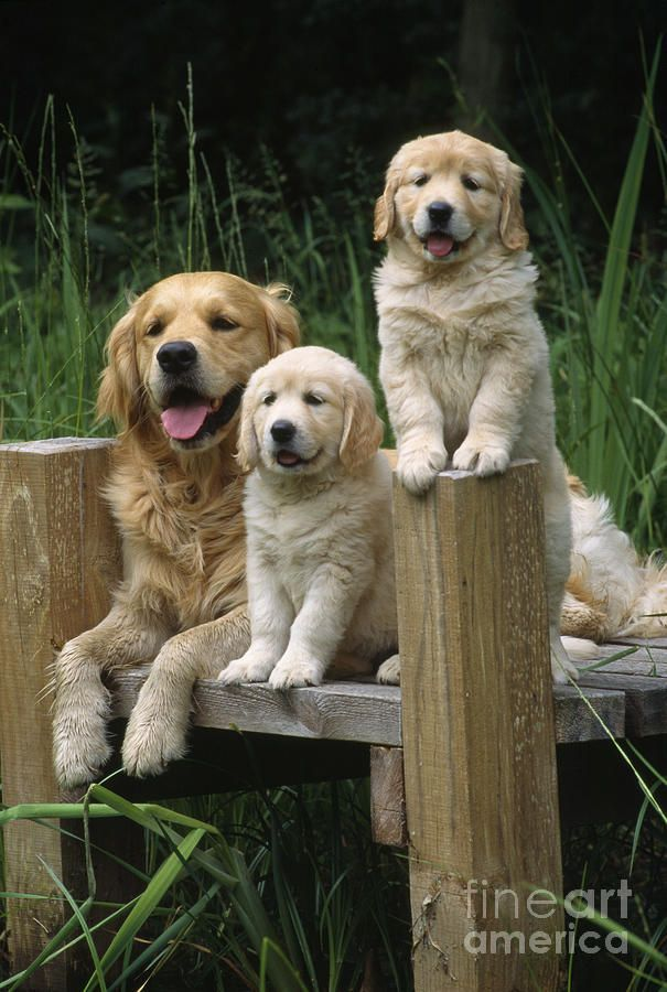 Country Living ~ Golden Retriever family