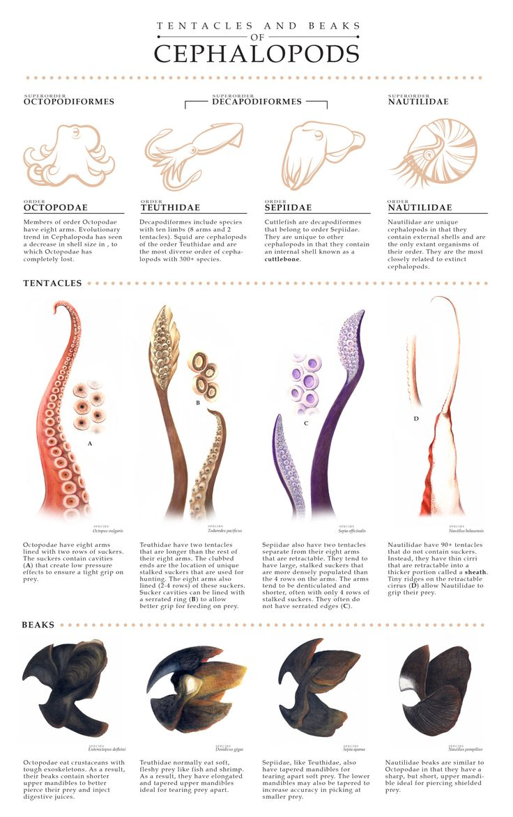 Tentacles and beaks of Cephalopods (octopus, squid, cuttlefish)