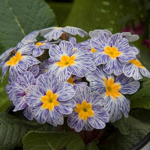 Blue Zebra Primrose | Spring Hill Nurseries