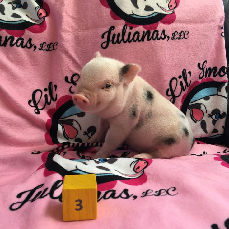 Pet Pigs For Sale, Available Piglets - Lil' Smokies Julianas - Phoenix, Az