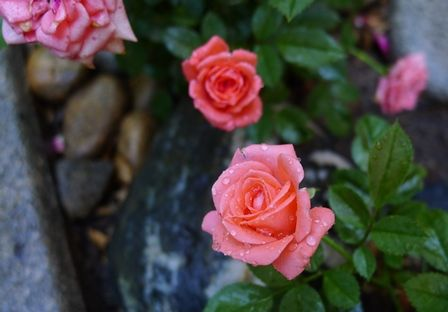 Roses-from-Greenheart1.jpg (448×312)